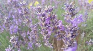 Lus na Tùise / Lavender by Marcas Mac an Tuairneir (Bradan Press, 2016)