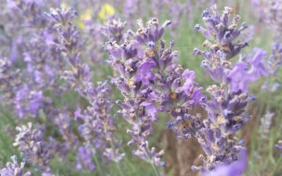 New review of Lus na Tùise / Lavender